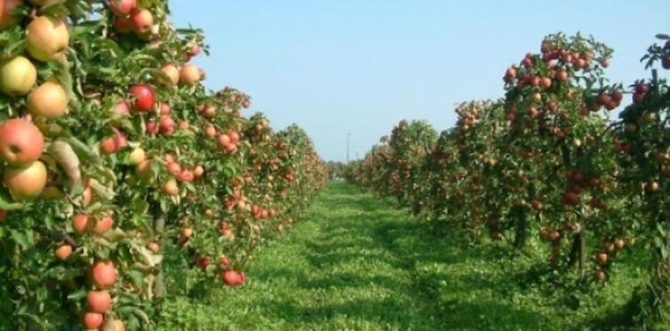Bağcılar'a elma bahçesi kurulacak