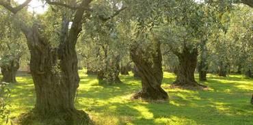 Zeytin arazilerine enerji yatırımı riski